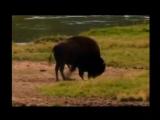 Tatanka - buffalo