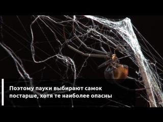 Самцы пауков «черная вдова» выбирают самок, которые их съедят