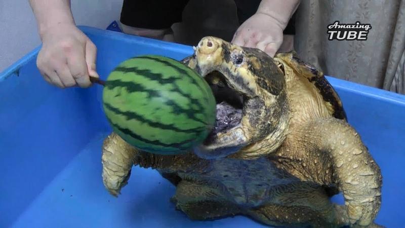 Cú táp của một chú rùa cá sấu khổng lồ mạnh cở nào
