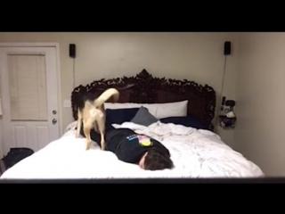 Собака в экстренной ситуации спасает хозяина