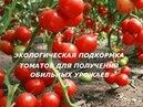 Подкормка томатов и перцев дрожжевым раствором 3 способа. Правила подкормки.