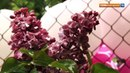 Закрытый сиреневый сад Лепсе покажут горожанам 25 мая