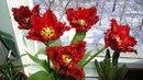 Тюльпаны после выгонки Какие у них луковки