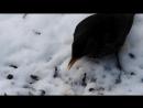 Чёрный дрозд клюёт очищенные семечки.