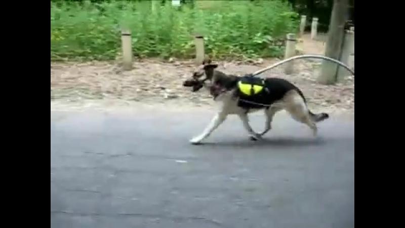 Dog Sulky Demonstration