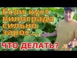 Если куст винограда сильно зарос..., Что делать ( If the bush of the grapes is overgrown ...)