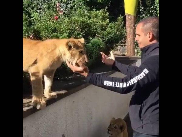 Обнимашки со львенком