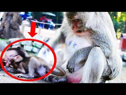 Super Cry Baby Monkey, Aiden Baby Monkey Super Cry Coz Mum Sasha Angry Newborn Baby Monkey