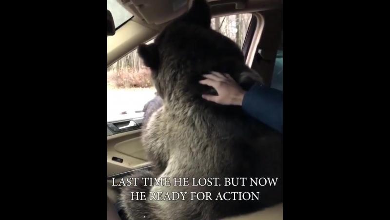Медведь едет к Хабибу, чтобы взять реванш 😄