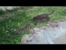 Котята - они и у ягуаров котята:) Котята ягуар пантера зоопарк Лимпопо