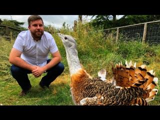 #Londonблог : как дрофы приехали в Британию из Саратовской области