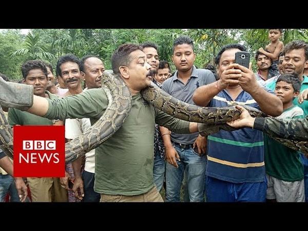 India python: Snake tries to strangle West Bengal selfie taker - BBC News