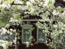 Расцвела под окошком белоснежная вишня