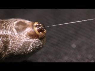 Как тянут паутину из паука