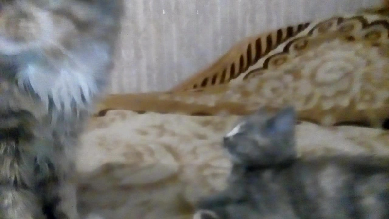 кот Барсик и котенок Люся