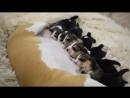 Щенки бигля Помет от 01 11 2017 Свободны для резервирования 4 суки и 2 кобеля окрас триколор