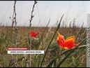 20.04.2018 В Крыму распустились дикие тюльпаны. Редкое растение занесено в Красную книгу страны