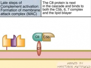 LAte Steps of Complement Activation and Formation of the MAC