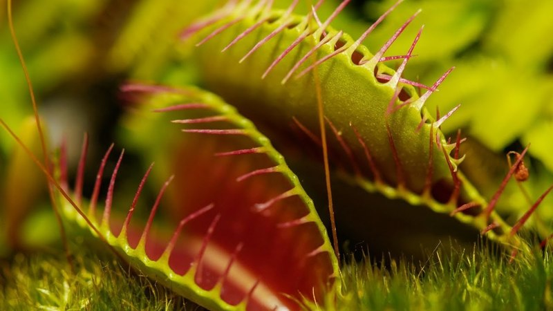VENUS FLYTRAP EATING AN INSECT | JAWS OF DOOM 2018 | CARNIVOROUS PLANTS