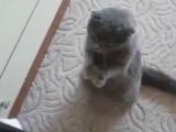 Скоттиш-фолд танцює - обожнюю цю породу котиків! Мрію про таке кошеня))))))