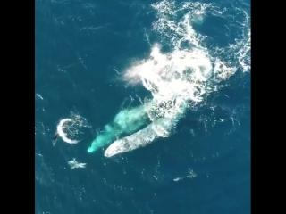 киты играют с дельфинами