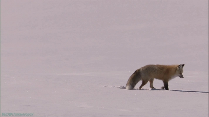 BBC «Йеллоустоун: Борьба за жизнь (1). Зима» (Документальный, природа, животные, 2009)