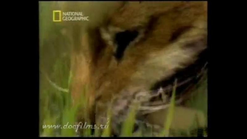 Вымершие Животные. Саблезубый Тигр (Смилодон фаталис) часть 1