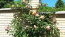 Роза Tantau Barock TANbak в моём саду Любимица