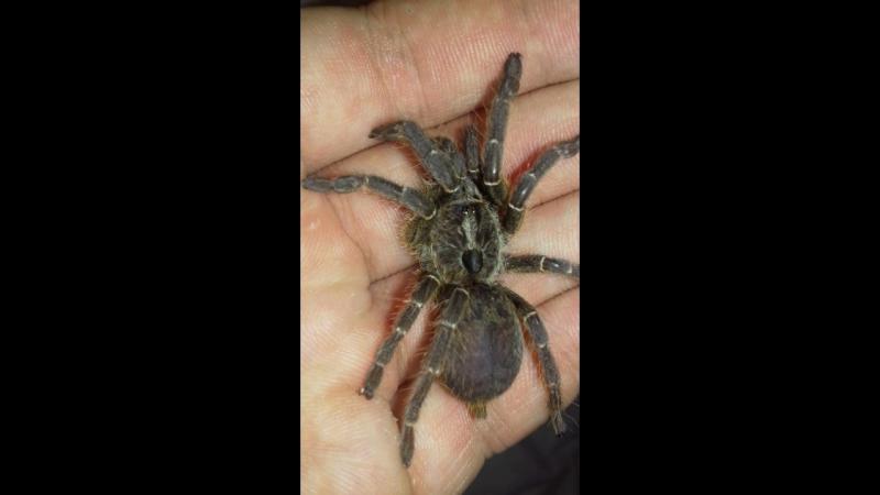 Самка Ceratogyrus Darlingi