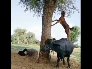 *حكمة* التيوس لا تصعد إلىٰ القمة إلا علىٰ ظهور الثيران.! 😆✋🏽 تفهم ما تفهم مشكلتك😏
