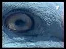 BBC Неизведанное ОРТ ноябрь 2000 Невиданная сила животных