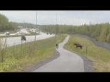 Если вы случайно встретили на узкой дороге лосиху с лосятами- лучше сразу притвориться мертвым!