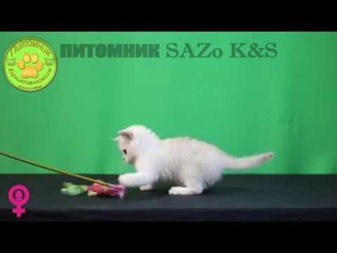 Никак серебристая британская кошка падучка