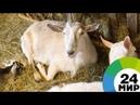 Уши, как у зайца: на ферме под Петербургом разводят экзотических коз - МИР 24