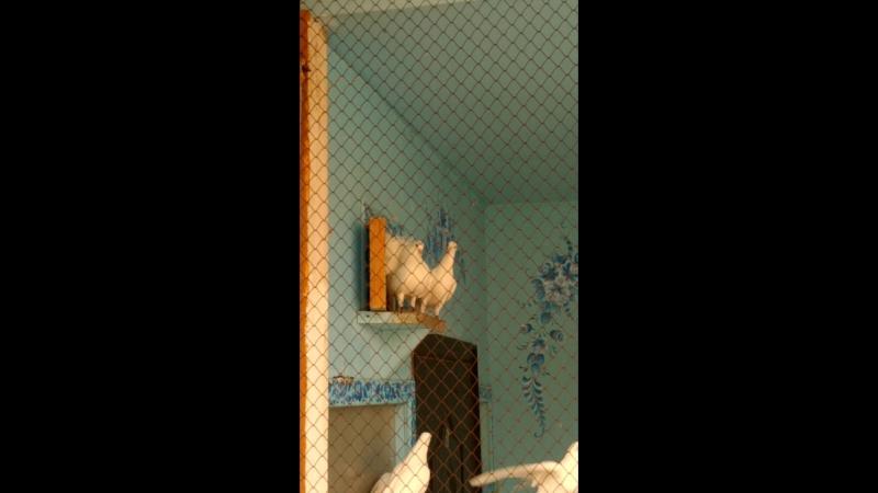 Воркующий голубь