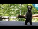 Выгуливает медвежонка на улицах Хабаровска