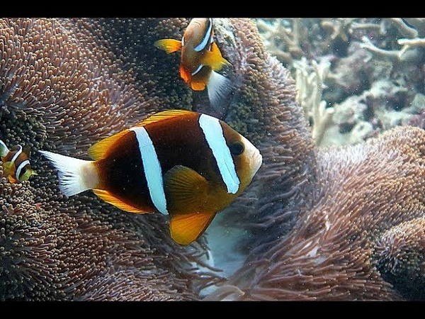 Большой Барьерный Риф. Австралия. Дайвинг. Great Barrier reef. Australia. LIVEABOARD