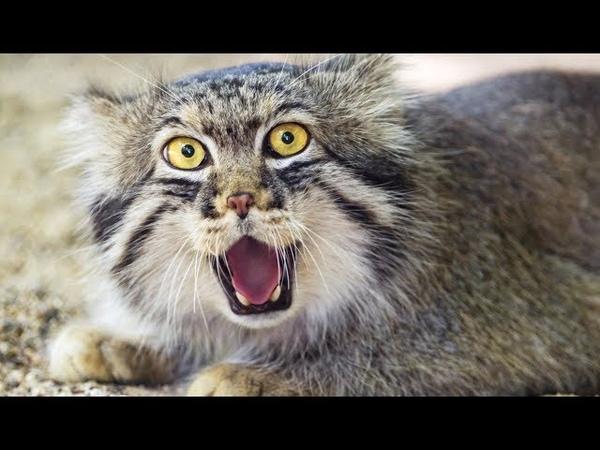 Létrange chat sauvage de Pallas - ZAPPING SAUVAGE