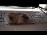 #hamsters