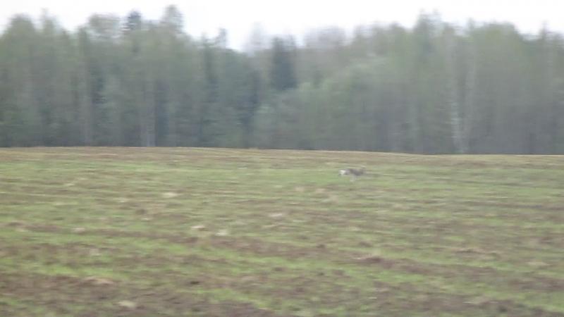 Заяц прошел по засеянному полю