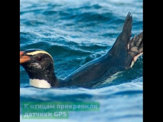 Удивительные факты о миграции новозеландских пингвинов