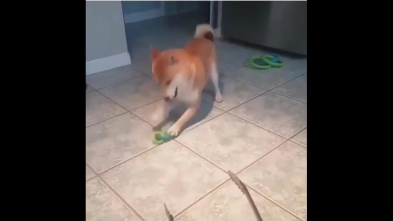 Excited shib