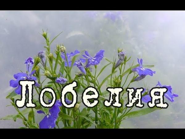 ЛОБЕЛИЯ – ампельное растение для СЕВЕРНЫХ БАЛКОНОВ Уход и разведение в домашних условиях