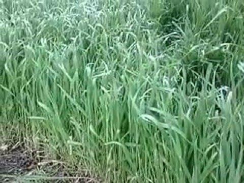трава Пырей.Нутрии. Можно ли давать нутриям траву пырей?