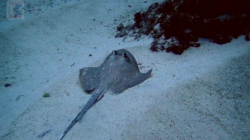 Морские коты зарылись в песок | Дайвинг на Бали