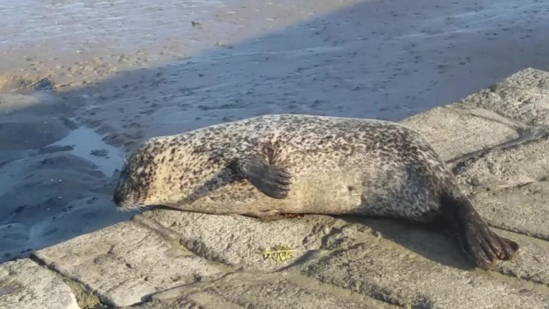 морской тюлень в Бретани
