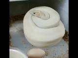 Королевский питон Pastel Enchi Ivory на кладке
