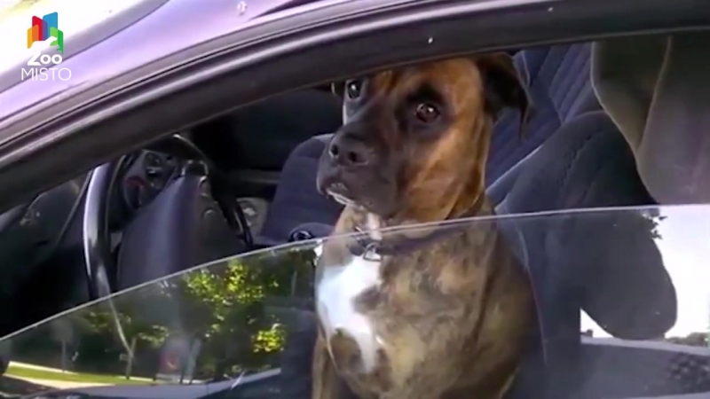 Собака-таксист и сосед-матершинник попугай амазон - Новости из мира животных 7 - ZooMisto