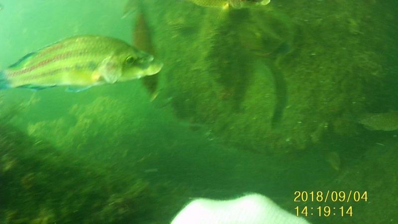 Рыбки тусовщицы активно принимают участие в сборе мидий