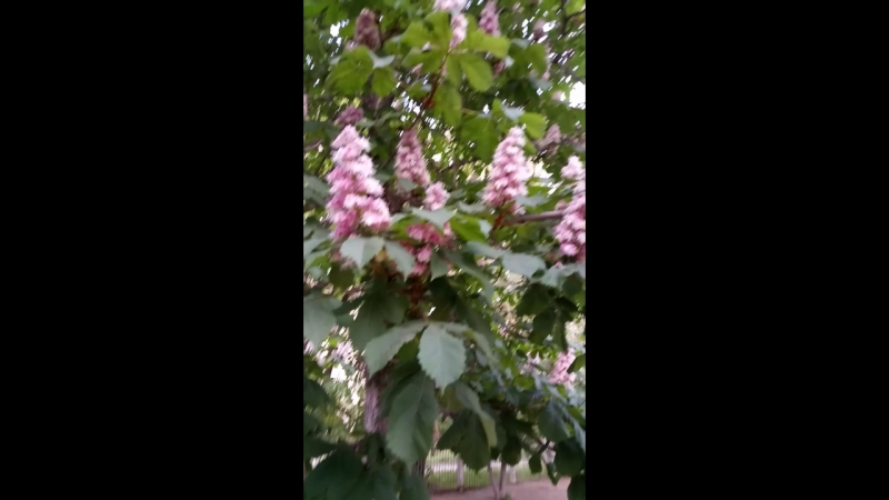у нас во дворе цветет каштан.